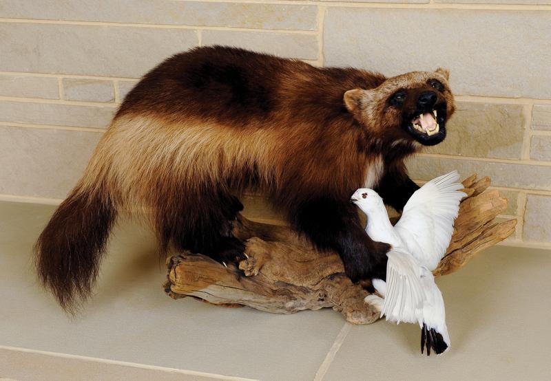 Wolverine with winter Ptarmigan mount. The wolveri