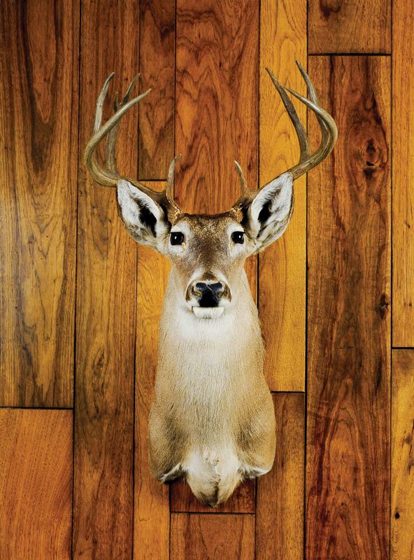 Nine point whitetail mount.