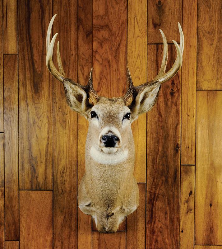 Eight point Montana whitetail mount.