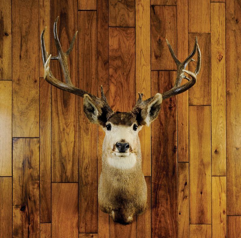 Mule deer mount taken on the Jicarilla Apache rese