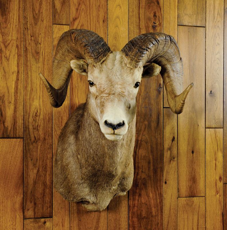 Rocky Mountain bighorn sheep mount.