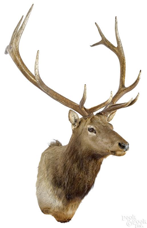 Large Elk taxidermy shoulder mount
