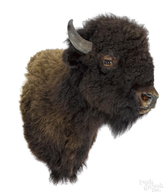 Large American bison taxidermy shoulder mount
