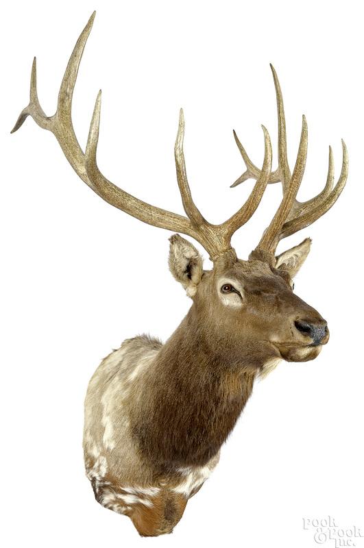 Large piebald Elk taxidermy shoulder mount