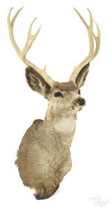 Taxidermy mule deer head mount