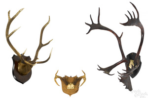 Three mounted antlers