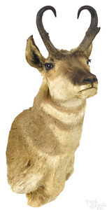 Taxidermy pronghorn antelope head mount