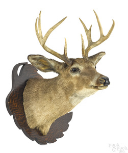 Taxidermy whitetail deer head mount, nine point.