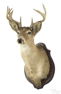 Taxidermy whitetail deer head mount, ten point.