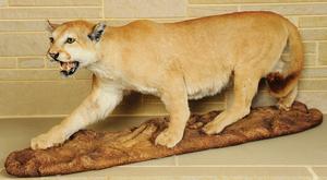 Life size cougar mount.