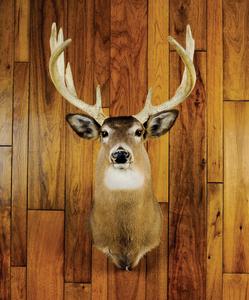 Exceptionally heavy horned Pennsylvania whitetailo