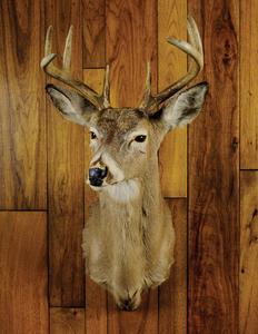 Eight point Pennsylvania whitetail.