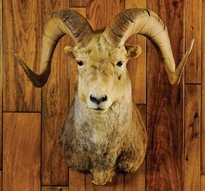 Stone sheep.