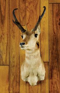 Wyoming antelope mount, ca. 1950's.