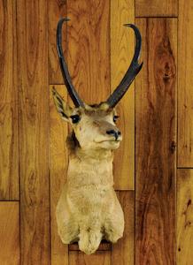 Large Wyoming antelope mount, ca. 1950's.