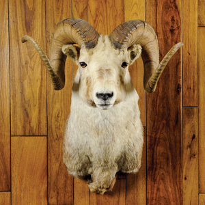 Large stone sheep mount with almost white cape. Th