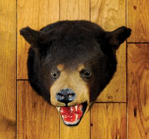 Maine black bear mount.