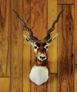 Black Buck Antelope mount.