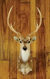 Axis deer mount.