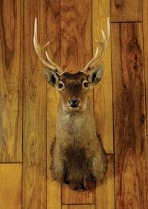 Sika deer mount.