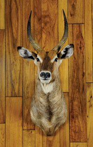 Water buck mount, ca. 1970's, taken in Kenya.
