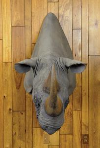 Large black rhino mount, ca. 1970's, taken in Keny
