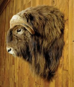 Musk ox mount, taken in the Northwest Territory.