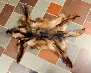 Wolf hide taken from British Columbia. Available f