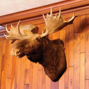 Large Eastern moose mount, taken in Maine.